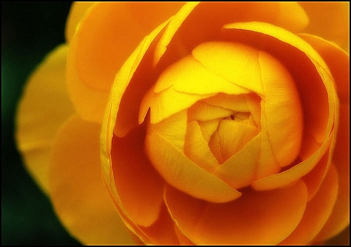 GOLDEN_BEGONIA_by_THOM_B_FOTO