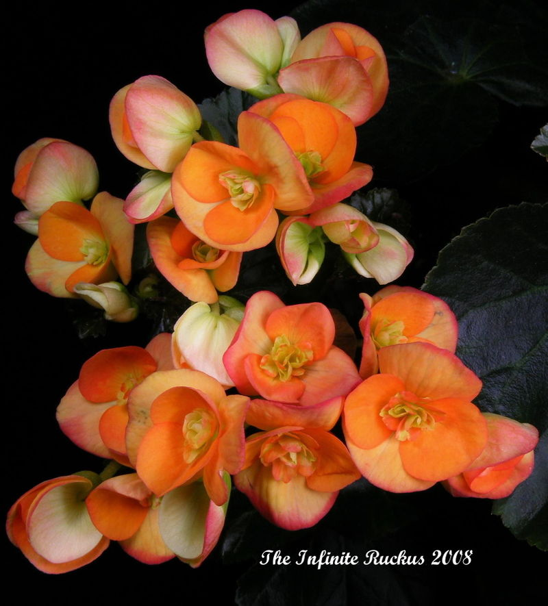 Begonia___Open_Buds_by_TheInfiniteRuckus