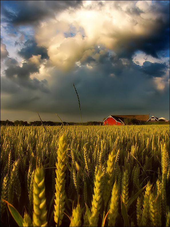 In_The_Corn_Field-1
