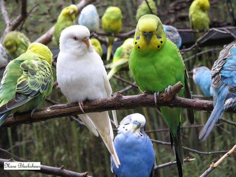 Parrots (Medium)